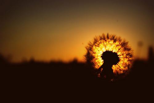 フリー画像| 植物| たんぽぽ/タンポポ| 綿毛| 夕日/夕焼け/夕暮れ| 橙色/オレンジ|