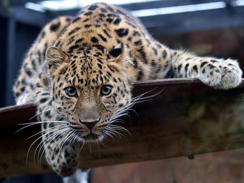 フリー画像| 動物写真| 哺乳類| ネコ科| 豹/ヒョウ|