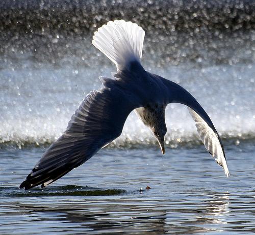 フリー画像| 動物写真| 鳥類| 野鳥| カモメ|