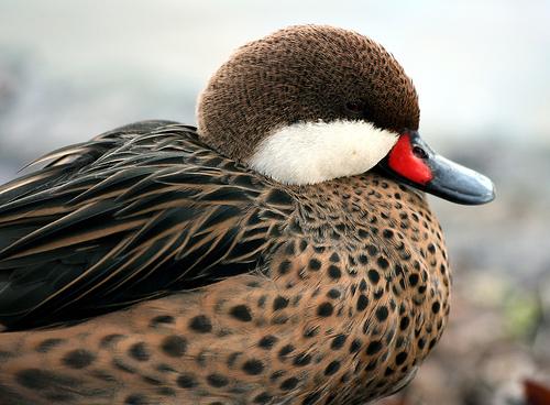 フリー画像| 動物写真| 鳥類| 鴨/カモ|