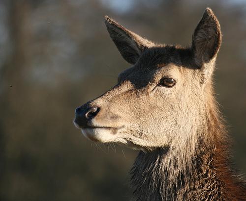 フリー画像| 動物写真| 哺乳類| 鹿/シカ|