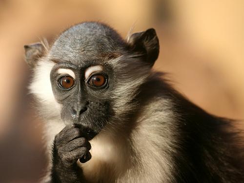 フリー画像| 動物写真| 哺乳類| 猿/サル| マンガベイ| 考える/悩む|