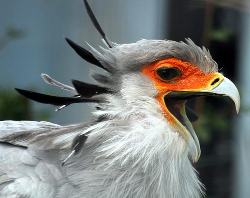 フリー画像|動物写真|鳥類|猛禽類|鷲/ワシ|ヘビクイワシ|欠伸/あくび|