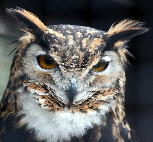 フリー画像| 動物写真| 鳥類| 猛禽類| 梟/フクロウ| アメリカワシミミズク|