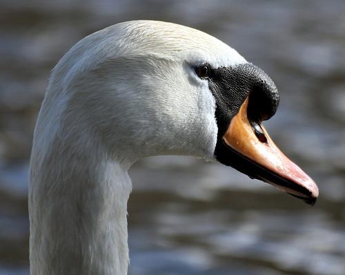 フリー画像| 動物写真| 鳥類| 野鳥| 白鳥/ハクチョウ|