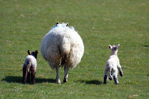 フリー画像| 動物写真| 哺乳類| 羊/ヒツジ| 親子/家族|