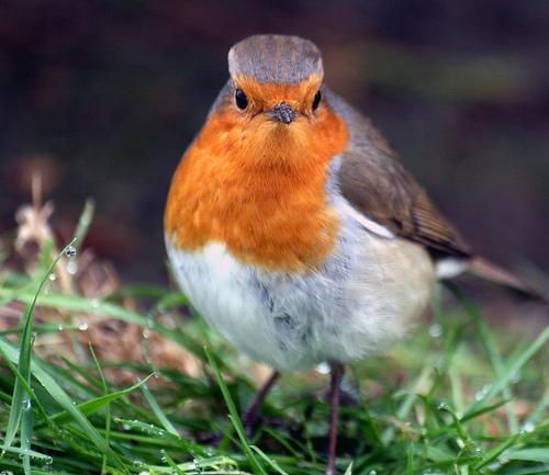 フリー画像| 動物写真| 鳥類| 野鳥| コマドリ|