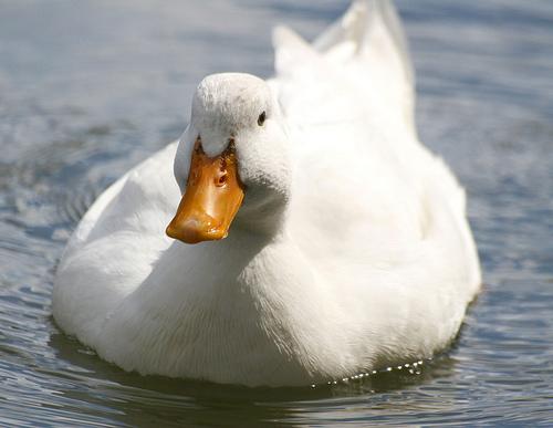 フリー画像| 動物写真| 鳥類| アヒル|