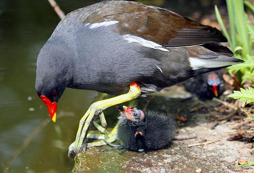 フリー画像  動物写真  鳥類  野鳥  バン  親子/家族  雛/ヒナ 