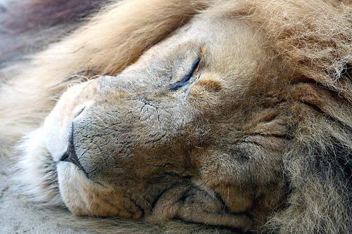 フリー画像| 動物写真| 哺乳類| ネコ科| ライオン| 寝顔/寝相/寝姿| 雄/オス|