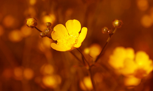 フリー画像| 花/フラワー| キンポウゲ科| バターカップ| 橙色/オレンジ|