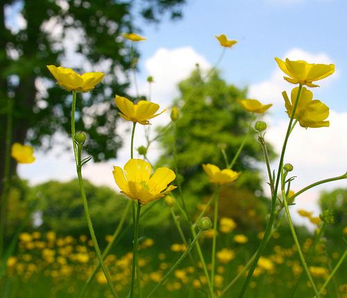 フリー画像  花/フラワー  キンポウゲ科  バターカップ  イエロー/花 