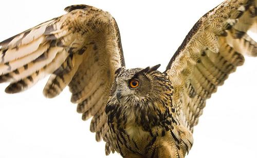 フリー画像| 動物写真| 鳥類| 猛禽類| 梟/フクロウ| アフリカワシミミズク|