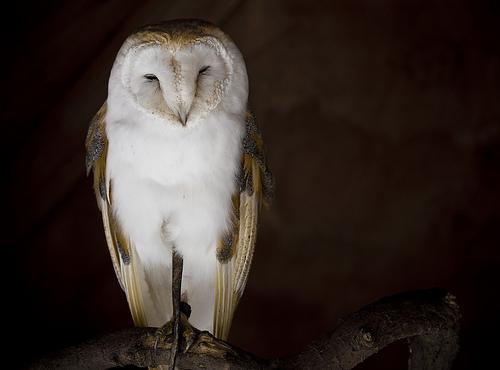 フリー画像| 動物写真| 鳥類| 猛禽類| 梟/フクロウ| メンフクロウ| 寝顔/寝相/寝姿|