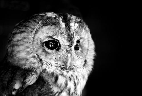フリー画像| 動物写真| 鳥類| 猛禽類| 梟/フクロウ| モリフクロウ| モノクロ写真|