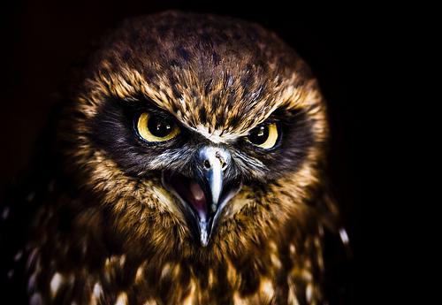 フリー画像| 動物写真| 鳥類| 猛禽類| 梟/フクロウ| コキンメフクロウ| 黒色/ブラック|