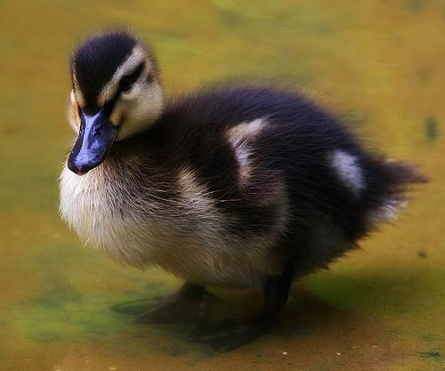 フリー画像| 動物写真| 鳥類| 野鳥| 鴨/カモ| 雛/ヒナ|