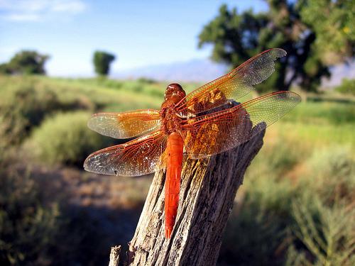 フリー画像| 節足動物| 昆虫| とんぼ/トンボ|  草原の風景| 赤とんぼ|