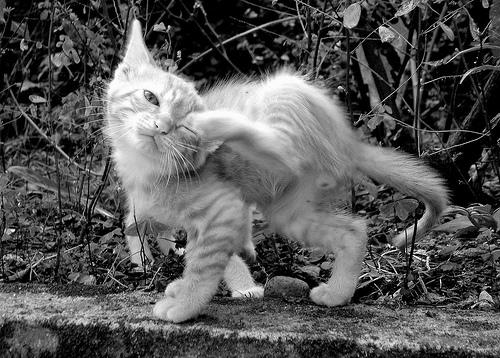 フリー画像| 動物写真| 哺乳類| ネコ科| 猫/ネコ| 子猫| モノクロ写真|