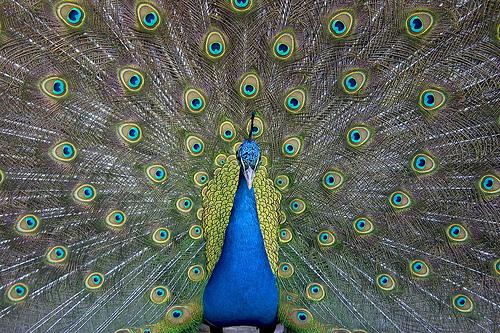 フリー画像| 動物写真| 鳥類| 孔雀/クジャク| 求愛行動|