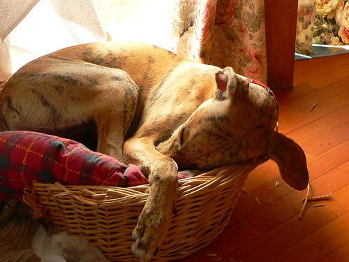 フリー画像  動物写真  哺乳類  イヌ科  犬/イヌ  スパニッシュ・グレーハウンド  寝顔/寝相/寝姿 