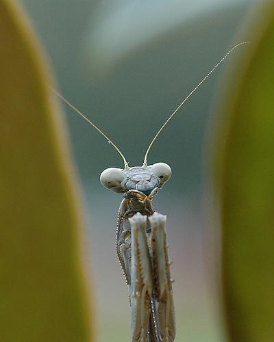 フリー画像| 節足動物| 昆虫| カマキリ|