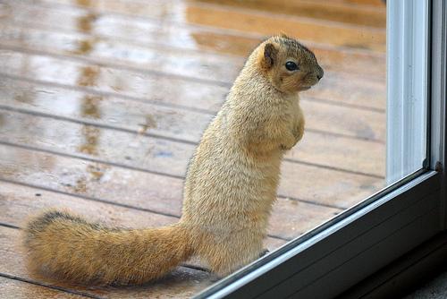フリー画像| 動物写真| 哺乳類| リス科| 小動物| リス| 覗く/見る|