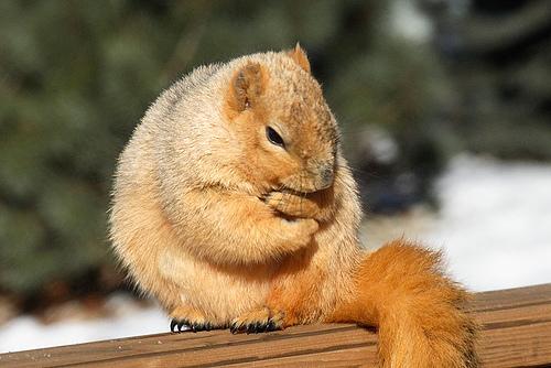 フリー画像| 動物写真| 哺乳類| リス科| 小動物| リス| 凍える|