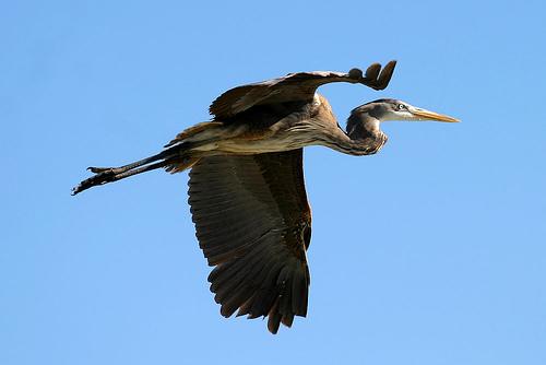 フリー画像| 動物写真| 鳥類| 野鳥| 鷺/サギ|