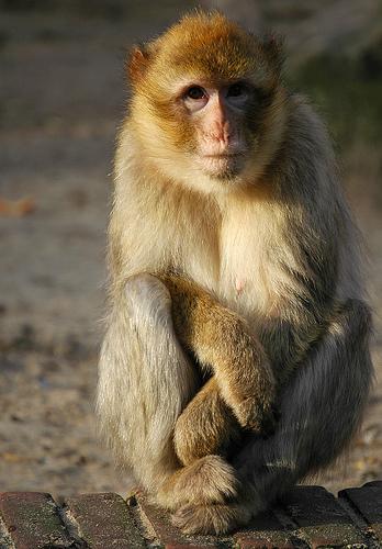 フリー画像| 動物写真| 哺乳類| 猿/サル|