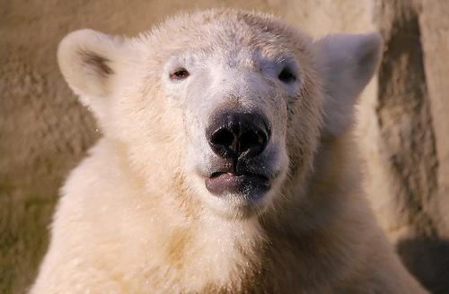 フリー画像| 動物写真| 哺乳類| 熊/クマ| 白くま/シロクマ|