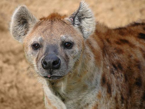 フリー画像| 動物写真| 哺乳類| ハイエナ|