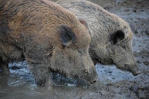 フリー画像| 動物写真| 哺乳類| 猪/イノシシ| 恋人/カップル|