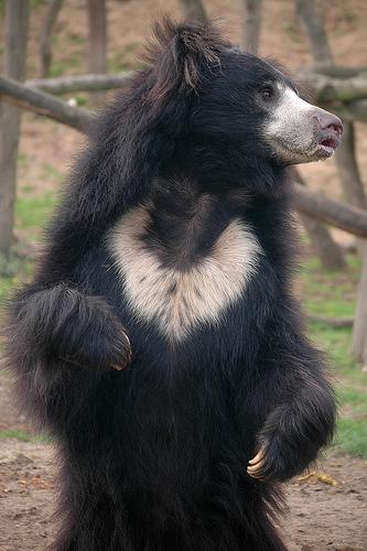 フリー画像| 動物写真| 哺乳類| 熊/クマ| ナマケグマ|