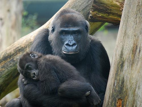 フリー画像|動物写真|哺乳類|猿/サル|ゴリラ|親子/家族|子猿|寝顔/寝相/寝姿|
