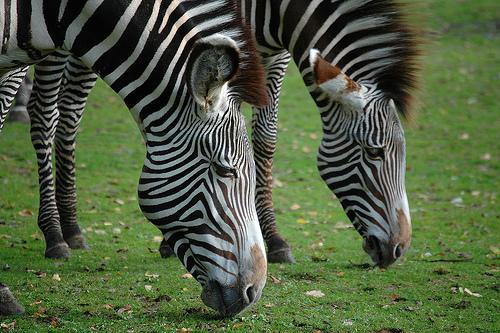 フリー画像| 動物写真| 哺乳類| 馬/ウマ| シマウマ|