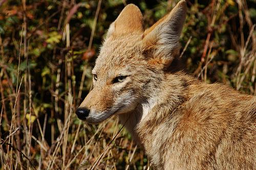 フリー画像  動物写真  哺乳類  イヌ科  コヨーテ 
