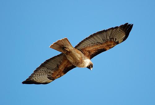フリー画像| 動物写真| 鳥類| 猛禽類| 鷹/タカ| アカオノスリ|