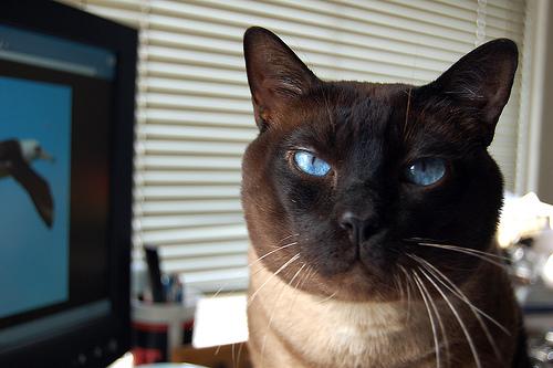 フリー画像| 動物写真| 哺乳類| ネコ科| 猫/ネコ| シャム猫|