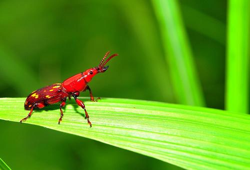 フリー画像| 節足動物| 昆虫| ゾウムシ| 緑色/グリーン|