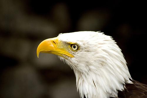フリー画像| 動物写真| 鳥類| 猛禽類| 鷲/ワシ| ハクトウワシ|