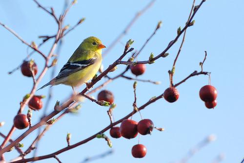 フリー画像| 動物写真| 鳥類| 野鳥| オウゴンヒワ/ゴールドフィンチ|