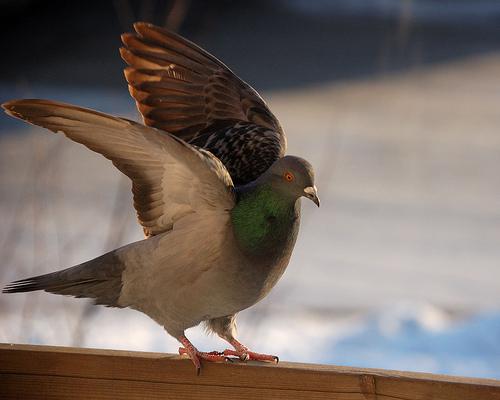 フリー画像| 動物写真| 鳥類| 野鳥| 鳩/ハト|