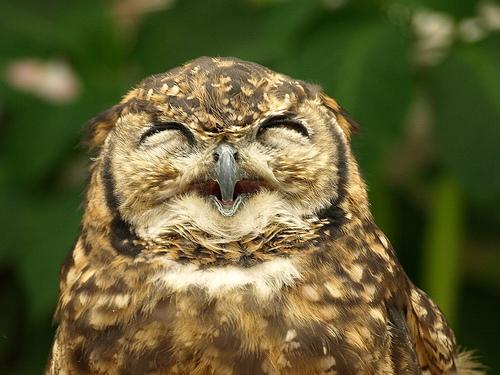 フリー画像| 動物写真| 鳥類| 猛禽類| 梟/フクロウ| アフリカワシミミズク| 笑顔/スマイル|