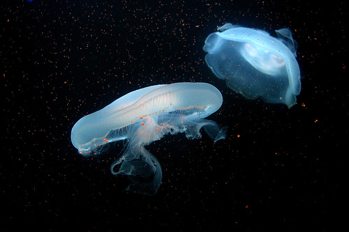 フリー画像| 刺胞動物| 海月/クラゲ|