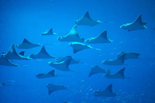 フリー画像| 動物写真| 魚類| エイ| 大群/群集| 青色/ブルー|