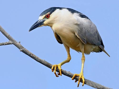 フリー画像  動物写真  鳥類  野鳥  鷺/サギ  ゴイサギ