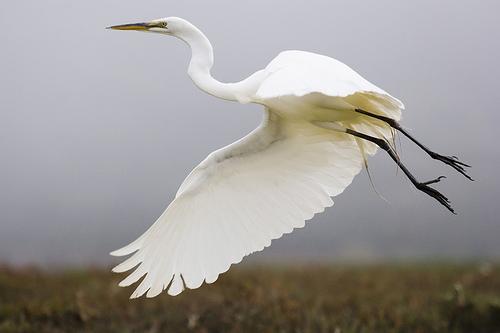 フリー画像| 動物写真| 鳥類| 野鳥| ダイサギ| 鷺/サギ|