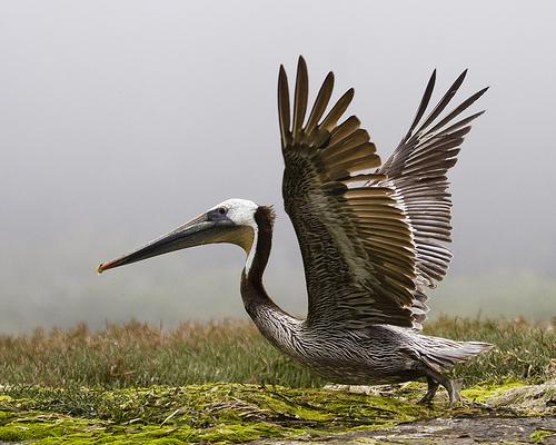 フリー画像| 動物写真| 鳥類| 野鳥| ペリカン| カッショクペリカン|