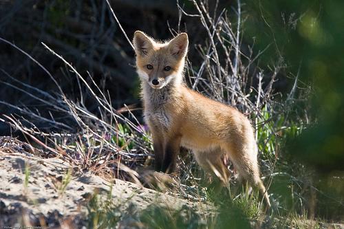 フリー画像| 動物写真| 哺乳類| イヌ科|  狐/キツネ| 子狐|